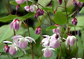 Epimedium — Komposisi Titan Gel
